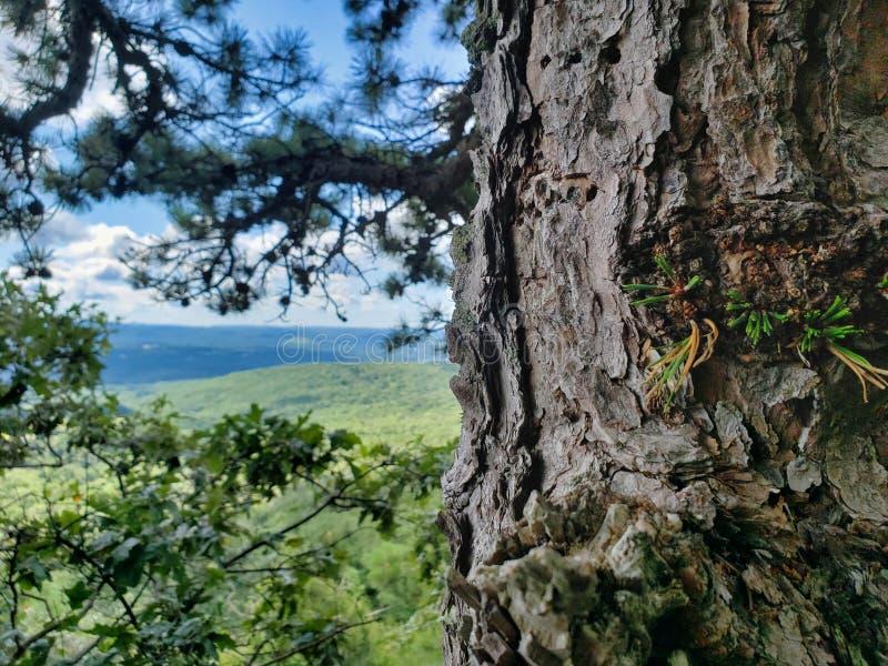 Παλαιά σύσταση δέντρων πεύκων με το απόμακρο τοπίο στοκ εικόνα με δικαίωμα ελεύθερης χρήσης