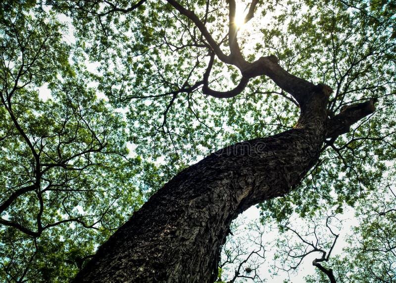 Παλαιές πράσινες φύλλα και ηλιοφάνεια δέντρων στοκ εικόνα με δικαίωμα ελεύθερης χρήσης