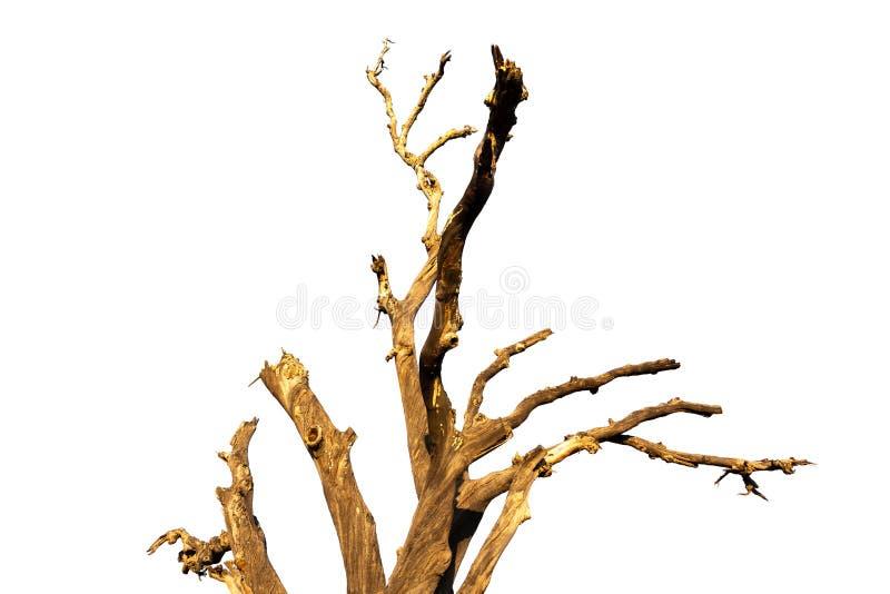 Παλαιός και νεκρός κλάδος δέντρων που απομονώνεται στο άσπρο υπόβαθρο στοκ φωτογραφία