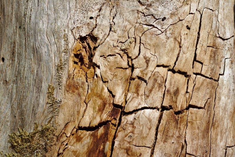 Παλαιός κορμός δέντρων που γδύνεται του φλοιού του με τις ρωγμές και τους λεκέδες στον ήλιο βραδιού στοκ φωτογραφία