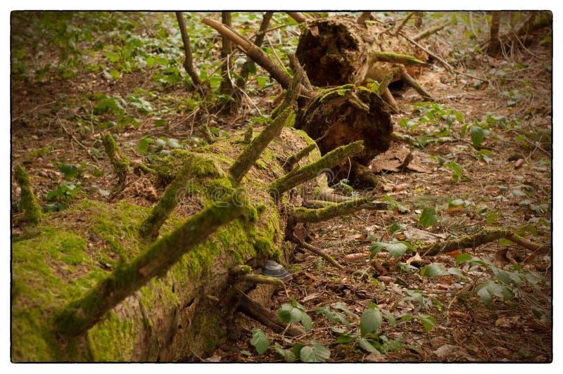 Παλαιός μίσχος δέντρων που καλύπτεται με το πράσινο βρύο στο δάσος την στοκ φωτογραφία