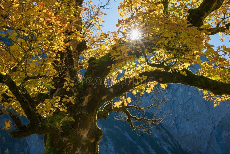 Παλαιός το δέντρο σφενδάμνου στο αλπικό τοπίο, φωτεινός ήλιος στοκ εικόνες με δικαίωμα ελεύθερης χρήσης