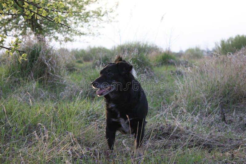 Παλαιός φύλακας κυνηγιού, όμορφο πορτρέτο ενός σκυλιού την άνοιξη στον τομέα στοκ εικόνα με δικαίωμα ελεύθερης χρήσης