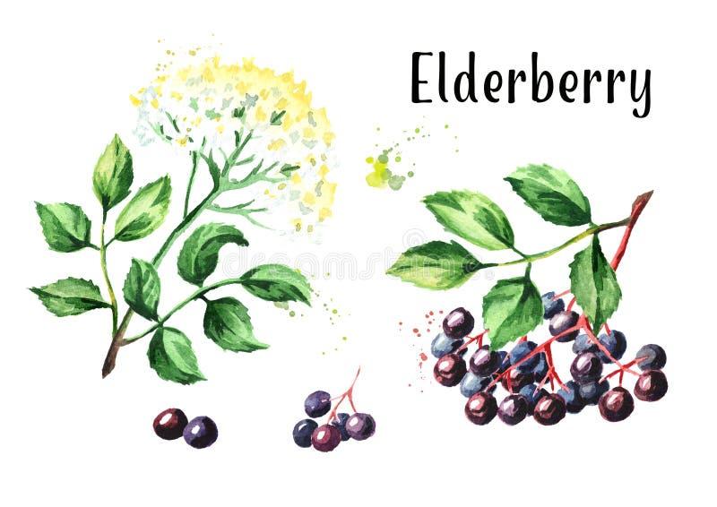 Παλαιότερο ανθών και elderberry λουλουδιών σύνολο Συρμένη χέρι απεικόνιση Watercolor, που απομονώνεται στο άσπρο υπόβαθρο απεικόνιση αποθεμάτων