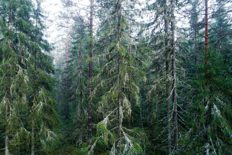 Παλαιό δάσος πεύκων αύξησης στην Εσθονία στοκ φωτογραφία