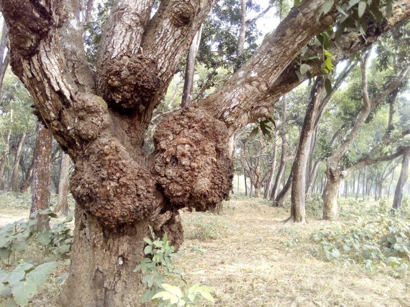 Παλαιό δέντρο μάγκο σε ένα δάσος στοκ φωτογραφίες