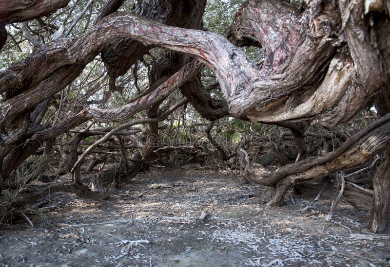 παλαιό δέντρο της Κούβας στοκ εικόνες