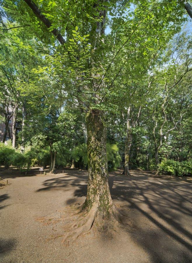 Παλαιό δέντρο mapple με το μεγάλο σύνολο κορμών του πράσινου βρύου στο Rikug στοκ φωτογραφία με δικαίωμα ελεύθερης χρήσης