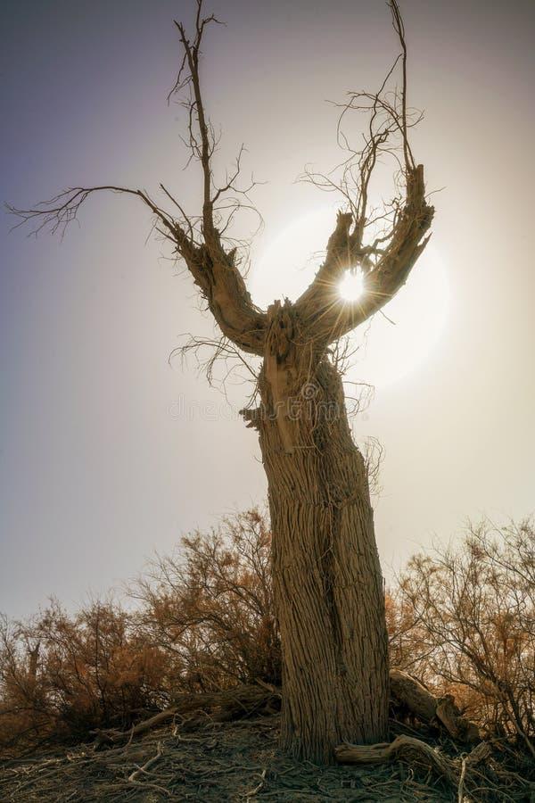 Παλαιό δέντρο Populus με την ηλιοφάνεια το φθινόπωρο στοκ εικόνες με δικαίωμα ελεύθερης χρήσης
