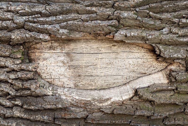 Παλαιό δρύινο δέντρο κινηματογραφήσεων σε πρώτο πλάνο Αποβιβασμένη επιφάνεια τρυπών ακόμη και του ξύλινου σώματος με το διάστημα  στοκ φωτογραφία με δικαίωμα ελεύθερης χρήσης