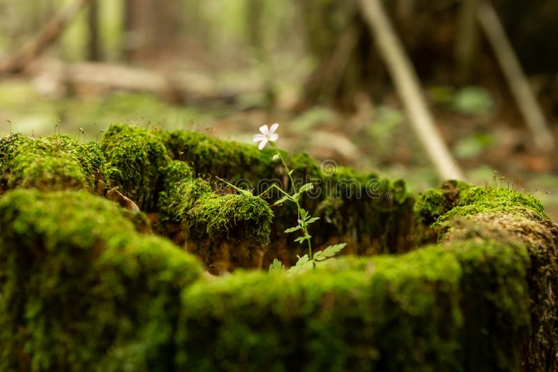 Παλαιό κολόβωμα, βρύο, κώνοι έλατου στα δασικά άγρια δασικά, κίτρινα φύλλα φθινοπώρου στοκ εικόνες με δικαίωμα ελεύθερης χρήσης