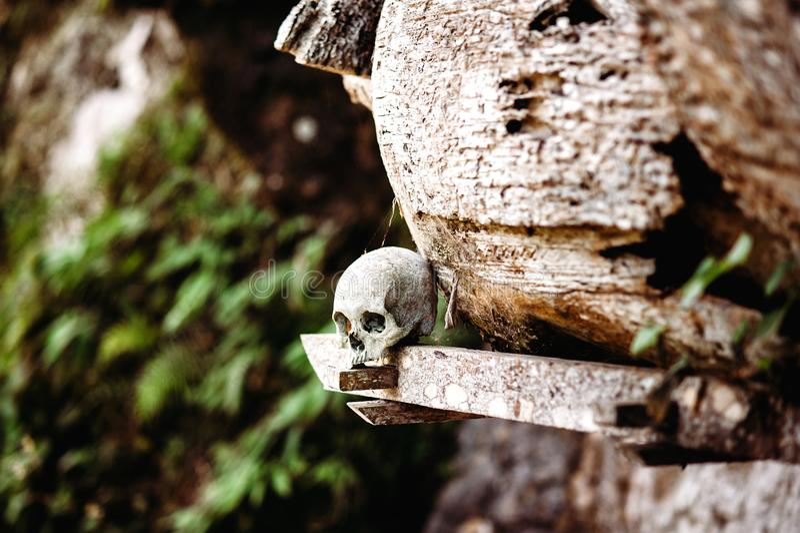 Παλαιό κρανίο που βάζει κοντά στο ξύλινο φέρετρο Κρεμώντας φέρετρα, τάφοι Παραδοσιακή περιοχή ενταφιασμών, νεκροταφείο Kete Kesu  στοκ φωτογραφία με δικαίωμα ελεύθερης χρήσης