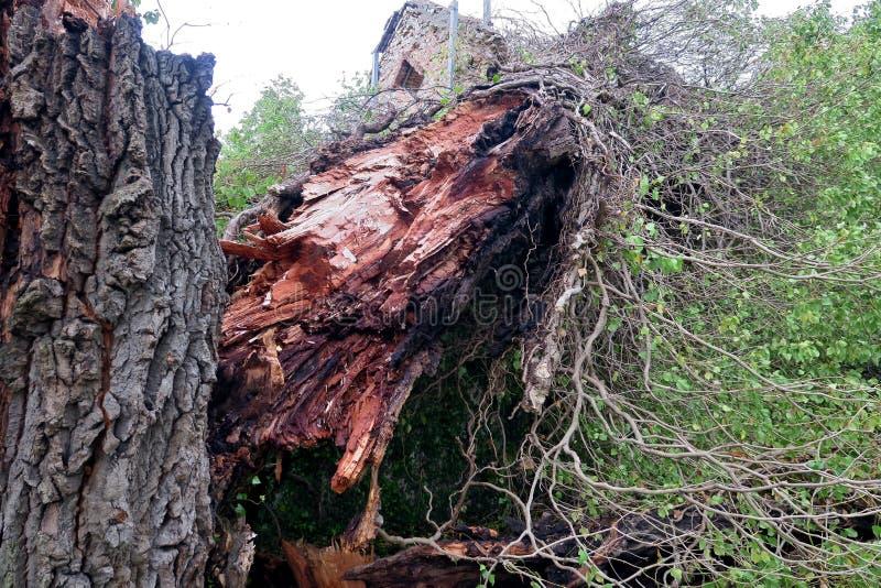 Παλαιό μεγάλο δέντρο που χωρίζεται σε δύο και που πέφτουν στο έδαφος στοκ φωτογραφία με δικαίωμα ελεύθερης χρήσης