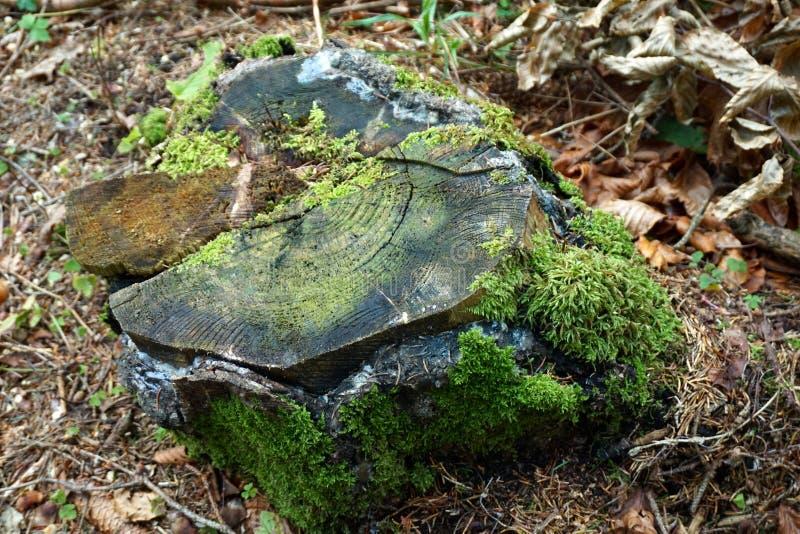 Παλαιό σάπιο κολόβωμα δέντρων που εισβάλλεται με το βρύο, τοπ άποψη στοκ εικόνα με δικαίωμα ελεύθερης χρήσης