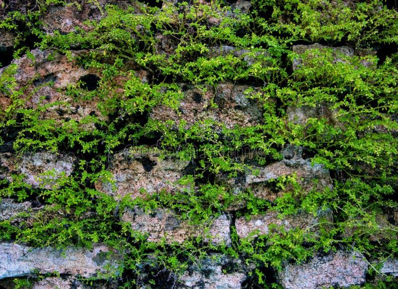 Παλαιό υπόβαθρο τοίχων με τις πράσινες εγκαταστάσεις Mossy αγροτική σύσταση φωτογραφιών κινηματογραφήσεων σε πρώτο πλάνο τοίχων π στοκ φωτογραφίες