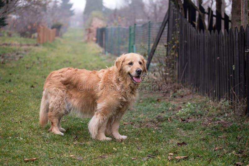 Παλαιό χρυσό retriever σκυλί στοκ εικόνα