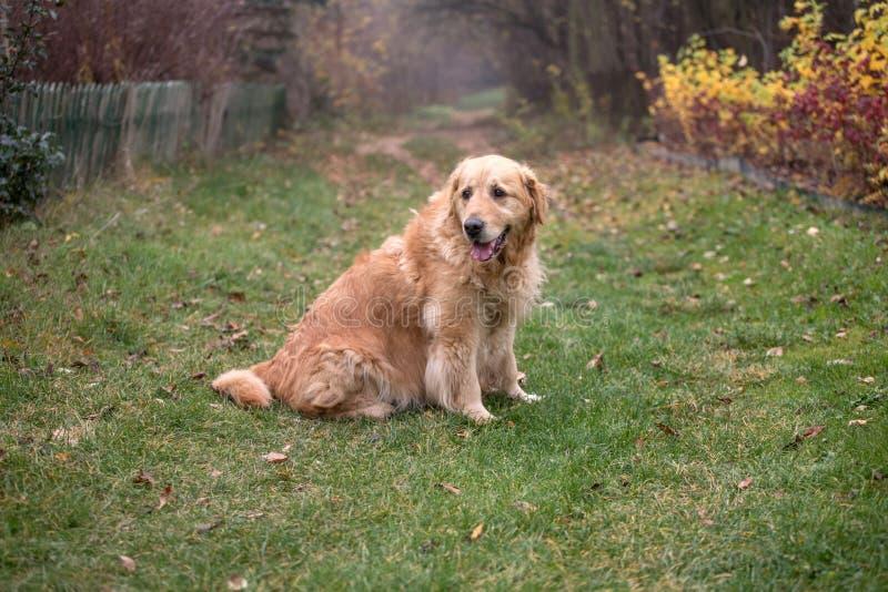 Παλαιό χρυσό retriever σκυλί στοκ εικόνες με δικαίωμα ελεύθερης χρήσης
