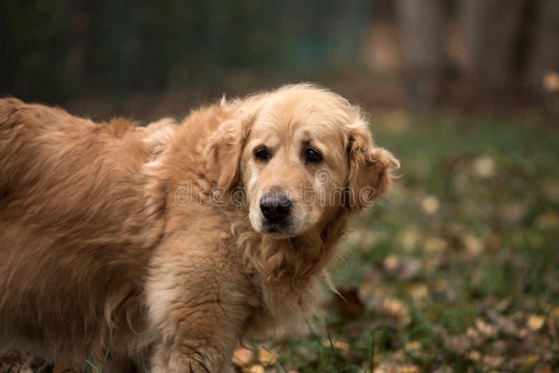 Παλαιό χρυσό retriever σκυλί στοκ φωτογραφίες με δικαίωμα ελεύθερης χρήσης
