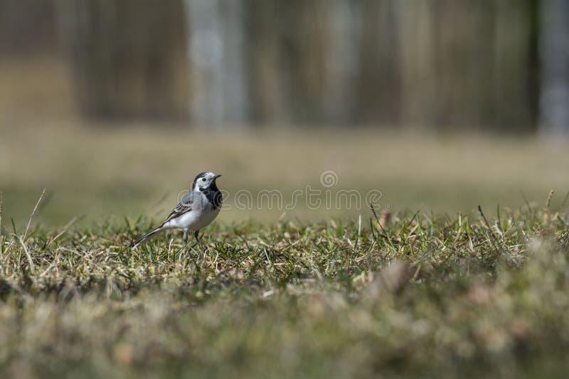 Παλιά άσπρη ουρά που παρουσιάζει τα φτερά της και περιμένει φαγητό στοκ εικόνα με δικαίωμα ελεύθερης χρήσης