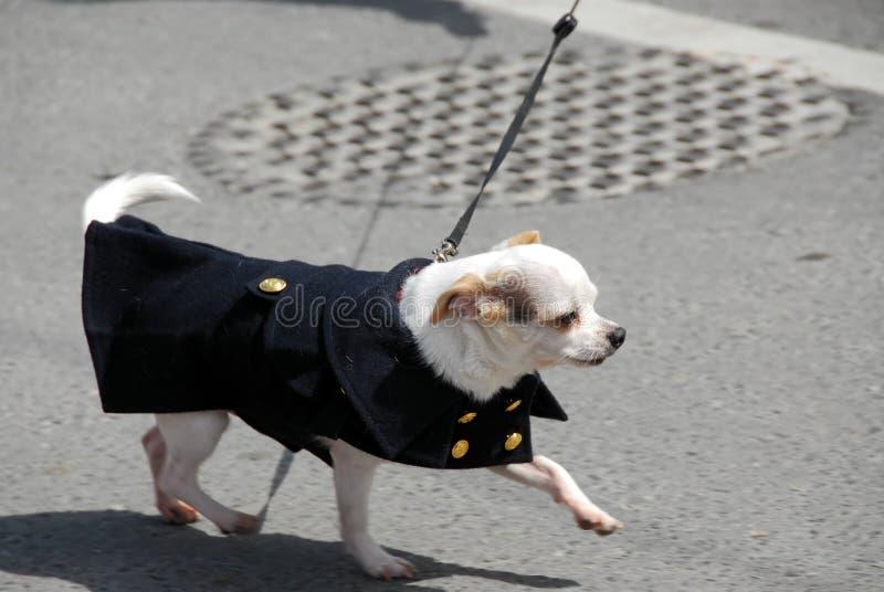 παλτό chihuahua στοκ φωτογραφία με δικαίωμα ελεύθερης χρήσης