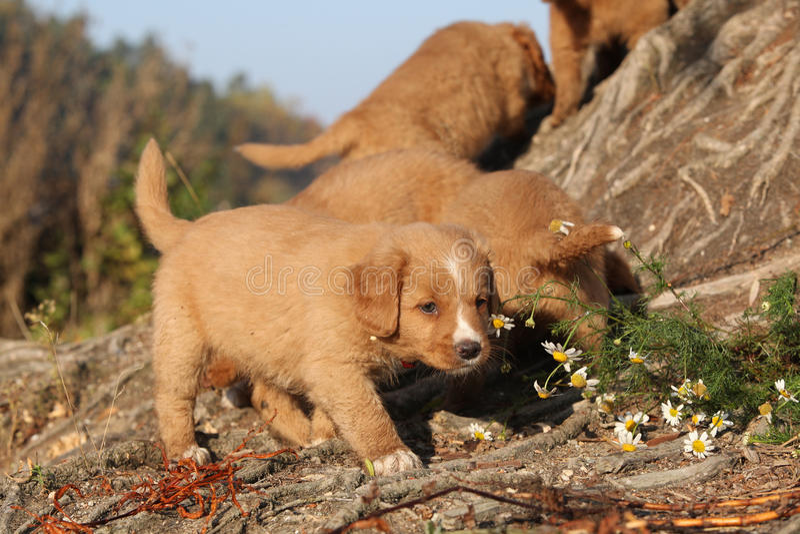 Πανέμορφα κουτάβια της Νέας Σκοτίας στη φύση στοκ φωτογραφία με δικαίωμα ελεύθερης χρήσης