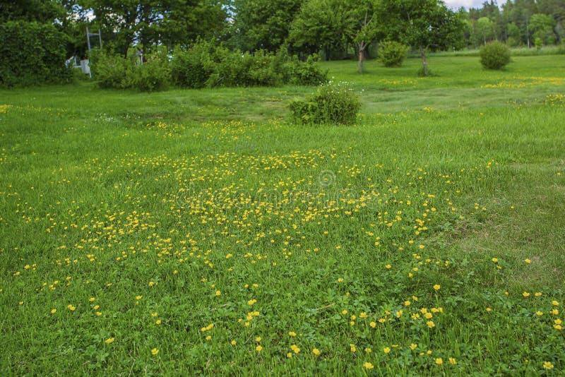 Πανέμορφη άποψη των κίτρινων θερινών λουλουδιών που κάνει τον τρόπο τους μέσω της πράσινης χλόης στοκ εικόνα