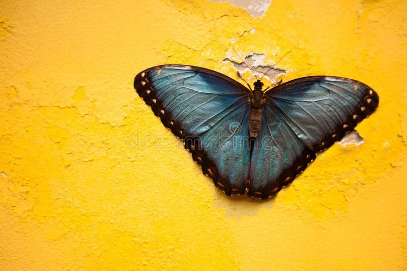 Πανέμορφη μπλε πεταλούδα στο shabby κίτρινο τοίχο στοκ εικόνα με δικαίωμα ελεύθερης χρήσης