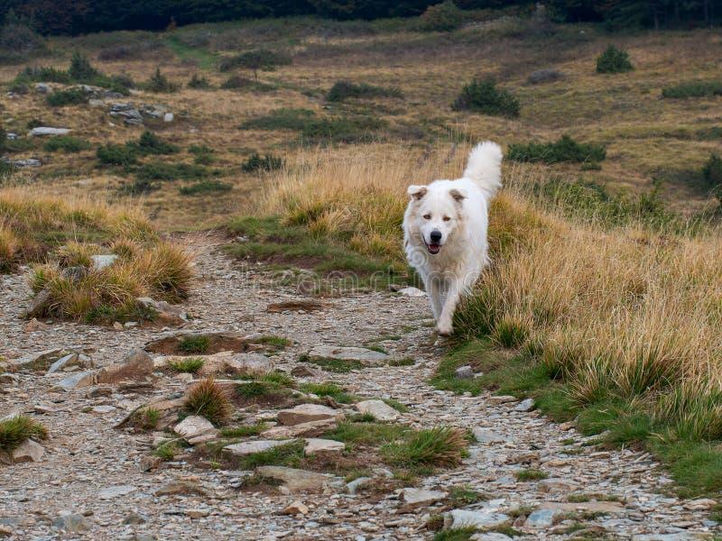 Πανέμορφο μεγάλο άσπρο τρέξιμο σκυλιών ελεύθερο στο φυσικό περιβάλλον του Maremma, τσοπανόσκυλο Abruzzese στοκ εικόνες με δικαίωμα ελεύθερης χρήσης