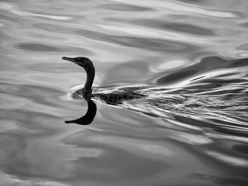 Πανέμορφο πουλί που κολυμπά γύρω από τη λίμνη στοκ φωτογραφία με δικαίωμα ελεύθερης χρήσης