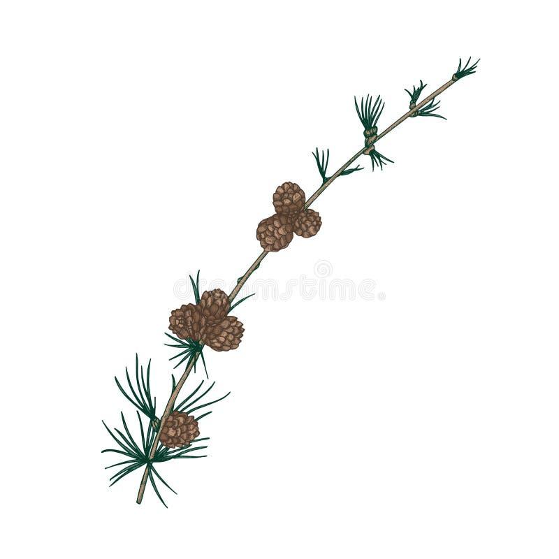 Πανέμορφο φυσικό σχέδιο του κλάδου αγριόπευκων με το needle-like φύλλωμα και τους κώνους Αειθαλές κλαδάκι κωνοφόρων δέντρων Χριστ απεικόνιση αποθεμάτων