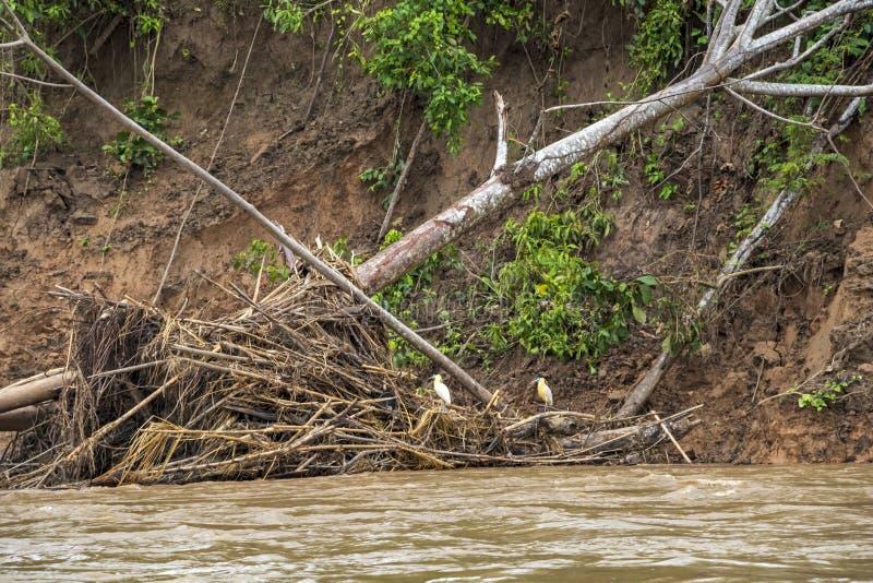 Πανίδα του εθνικού πάρκου Madidi, bassin ποταμών του Αμαζονίου, Βολιβία στοκ εικόνες