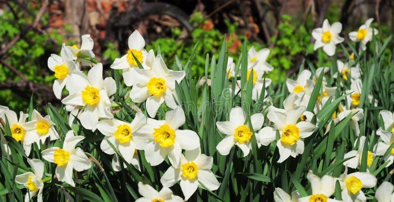 Πανοραμική άποψη σχετικά με τα άσπρα λουλούδια ναρκίσσων άνοιξη Λουλούδι ναρκίσσων που είναι γνωστό επίσης ως daffodil, daffadown στοκ φωτογραφίες με δικαίωμα ελεύθερης χρήσης