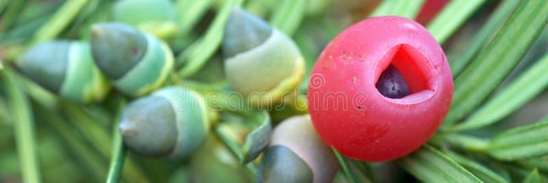 Πανοραμική εικόνα Κλαδιά με φρούτα στοκ φωτογραφία με δικαίωμα ελεύθερης χρήσης