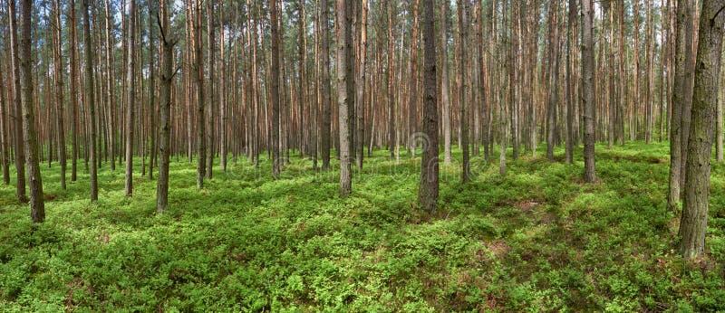 Πανοραμική εικόνα του δάσους πεύκων άνοιξη στοκ εικόνα