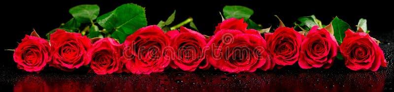 Πανοραμική εικόνα των κόκκινων τριαντάφυλλων με τις πτώσεις δροσιάς στοκ φωτογραφίες