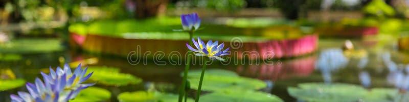 Πανοραμικός των πορφυρών λουλουδιών λωτού που επιπλέουν στη λίμνη στοκ εικόνα