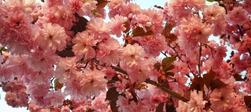 Πανόραμα δέντρων κερασιών Kwanzan με τις ρόδινες ανθίσεις στοκ εικόνα με δικαίωμα ελεύθερης χρήσης