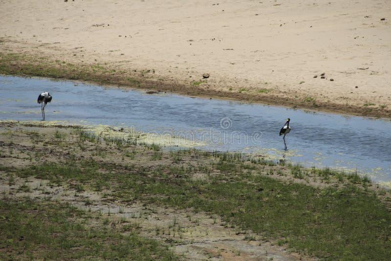 Πανόραμα και άγρια φύση στον ποταμό Letaba, εθνικό πάρκο Kruger, Νότια Αφρική στοκ εικόνα με δικαίωμα ελεύθερης χρήσης