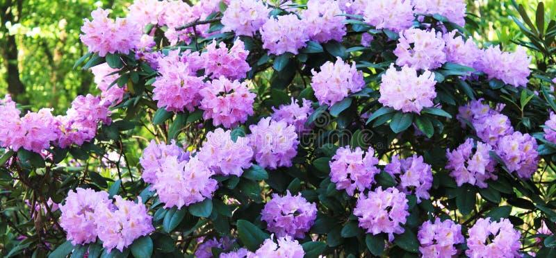 Πανόραμα με τα rodendrons Τα λουλούδια Rodendron ευχαριστούν το μάτι μια θερινή ημέρα στοκ φωτογραφίες με δικαίωμα ελεύθερης χρήσης