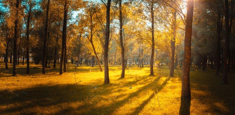 Πανόραμα στο δάσος κατά τη διάρκεια του ηλιοβασιλέματος Ακτίνες ήλιων που έρχονται μέσω του θορίου στοκ φωτογραφία