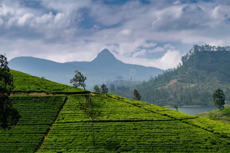 Πανόραμα της φυτείας τσαγιού με την αιχμή Adams, Σρι Λάνκα στοκ εικόνες