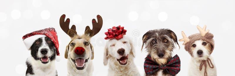 Πανό πέντε σκυλιά γιορτάζουν τις γιορτές των Χριστουγέννων φορώντας ένα κόκκινο καπέλο άγιος βασίλης, κέρατα ταράνδων και κόκκινη στοκ εικόνες