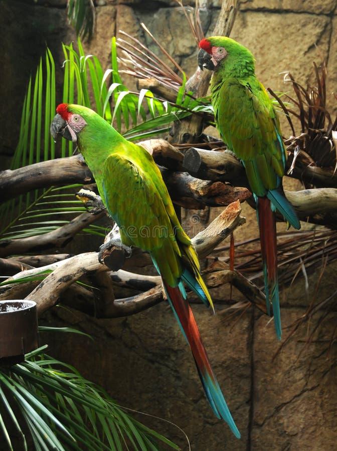 παπαγάλοι δύο στοκ εικόνα