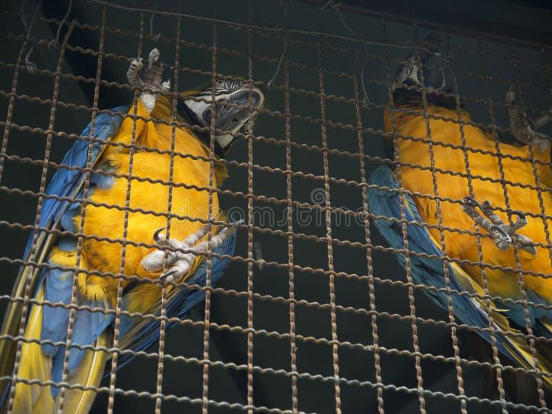 Παπαγάλοι Macaw στον κήπο του παλατιού κυβερνητών στο νησί της Μαδέρας Πορτογαλία στοκ εικόνα