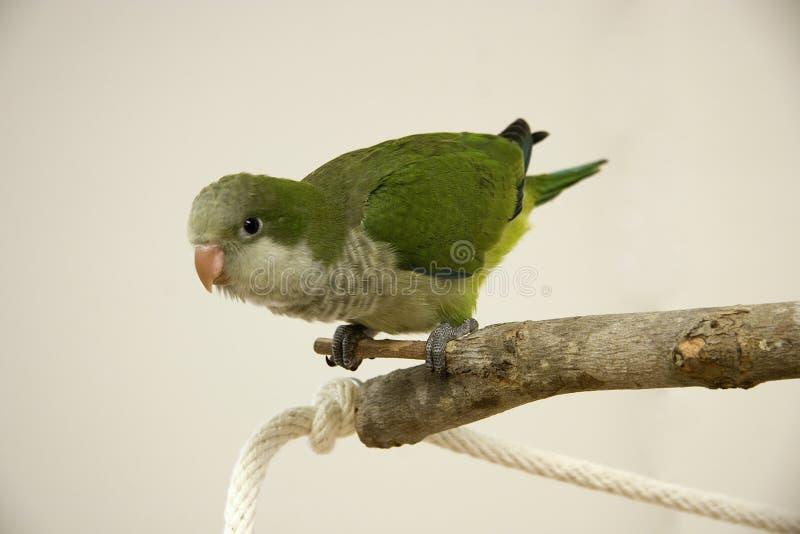 παπαγάλος κουάκερος στοκ εικόνα με δικαίωμα ελεύθερης χρήσης
