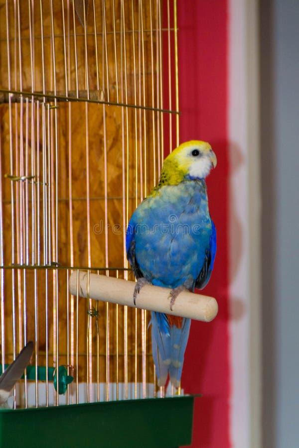 Παπαγάλος, μπλε rosella στοκ εικόνες