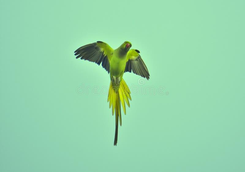 Παπαγάλος που πετά με ευρύ ανοικτό φτερών στον ουρανό στην κάθετη θέση στοκ εικόνες