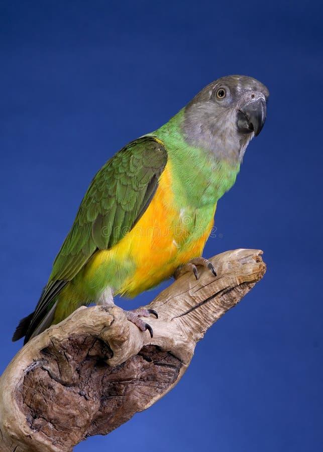 παπαγάλος Σενεγάλη στοκ εικόνα με δικαίωμα ελεύθερης χρήσης