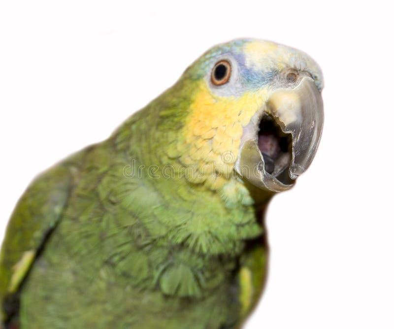 παπαγάλος της Αμαζώνας στοκ εικόνες