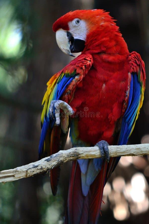 παπαγάλος χορού στοκ εικόνες με δικαίωμα ελεύθερης χρήσης
